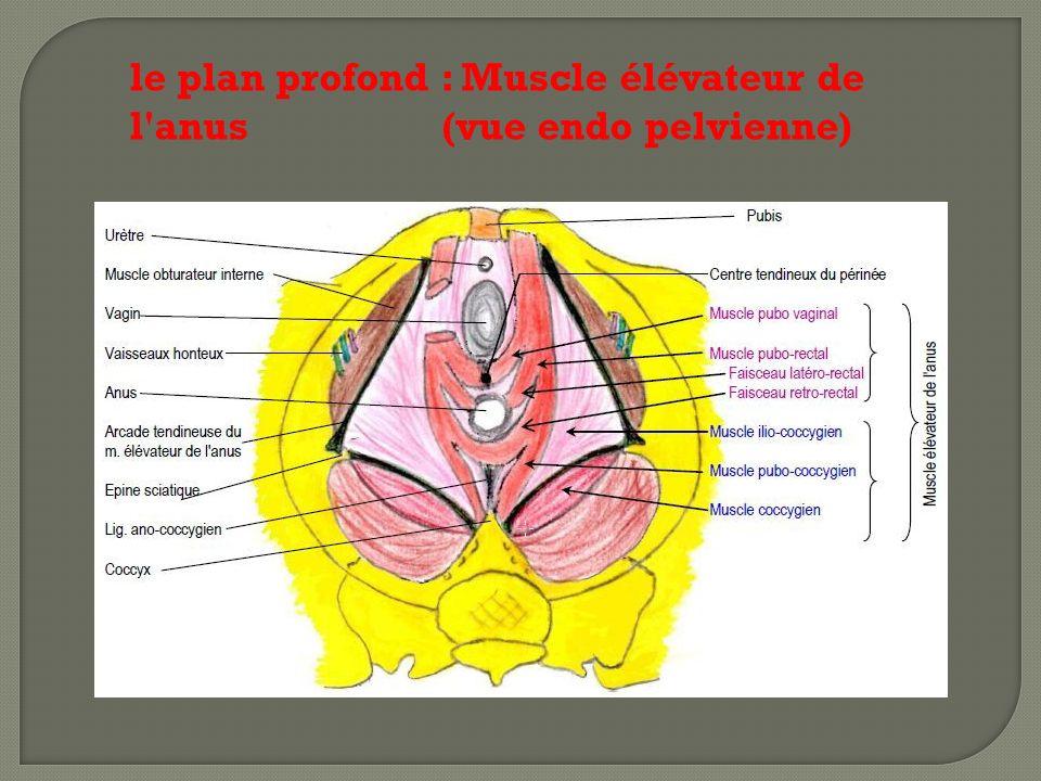 le plan profond : Muscle élévateur de l anus (vue endo pelvienne)