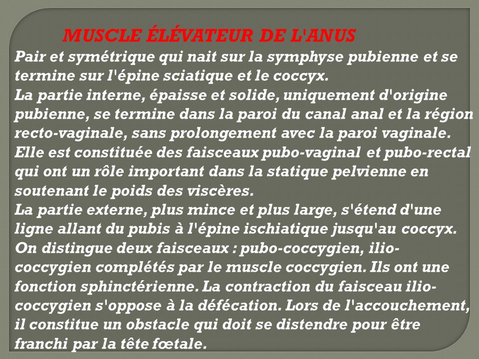 MUSCLE ÉLÉVATEUR DE L ANUS