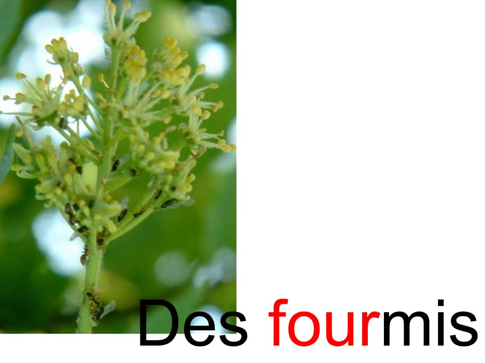 fourmi Des fourmis