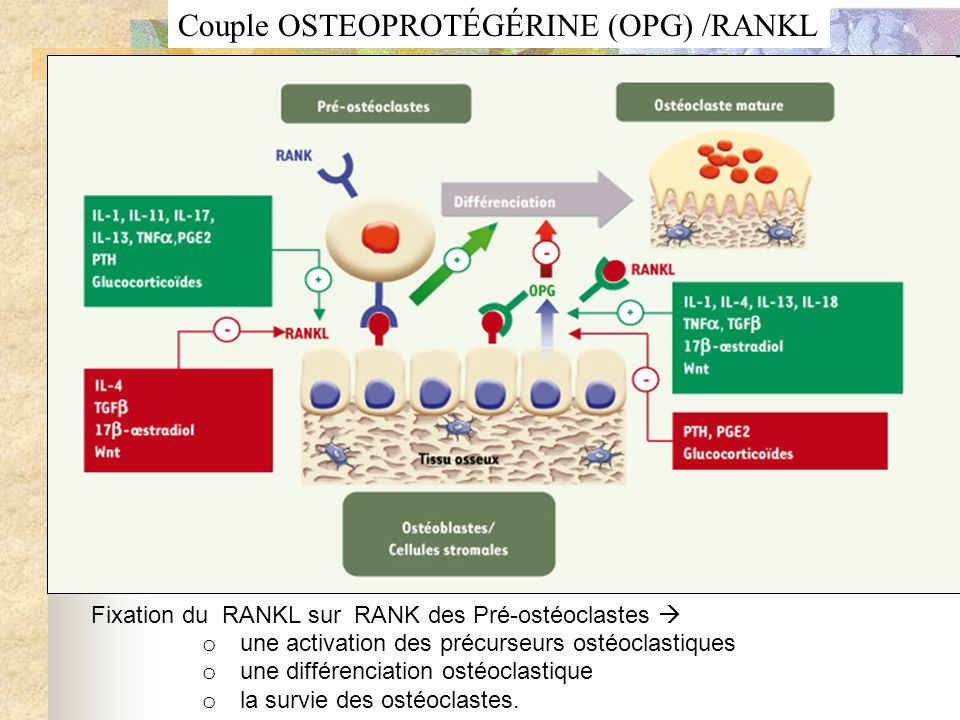 Couple OSTEOPROTÉGÉRINE (OPG) /RANKL