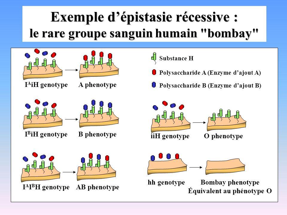 Exemple d'épistasie récessive : le rare groupe sanguin humain bombay