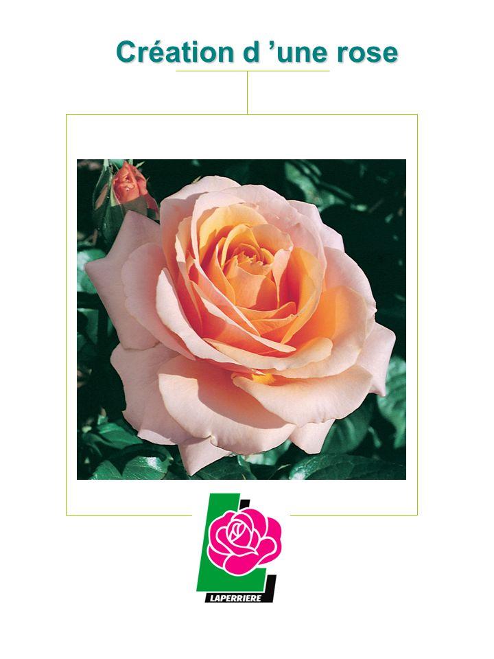 Création d 'une rose