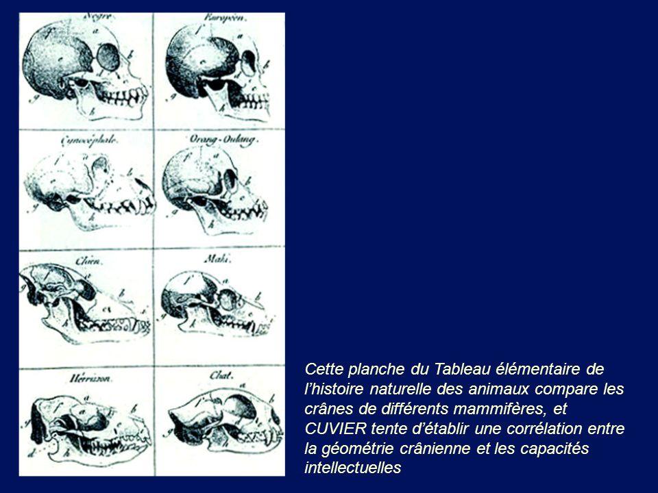 Cette planche du Tableau élémentaire de l'histoire naturelle des animaux compare les crânes de différents mammifères, et CUVIER tente d'établir une corrélation entre la géométrie crânienne et les capacités intellectuelles