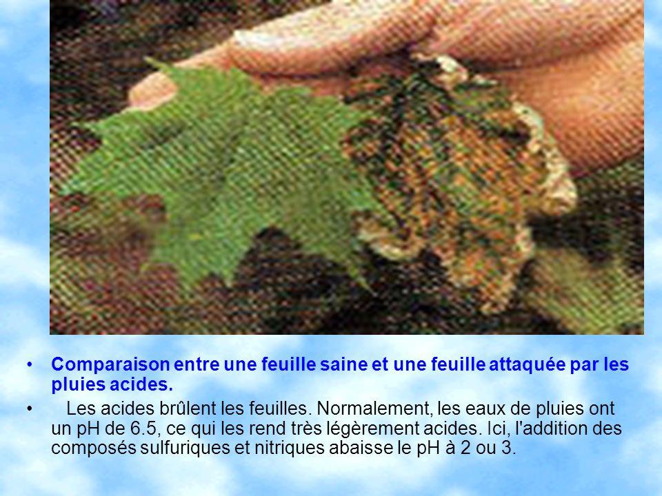Comparaison entre une feuille saine et une feuille attaquée par les pluies acides.
