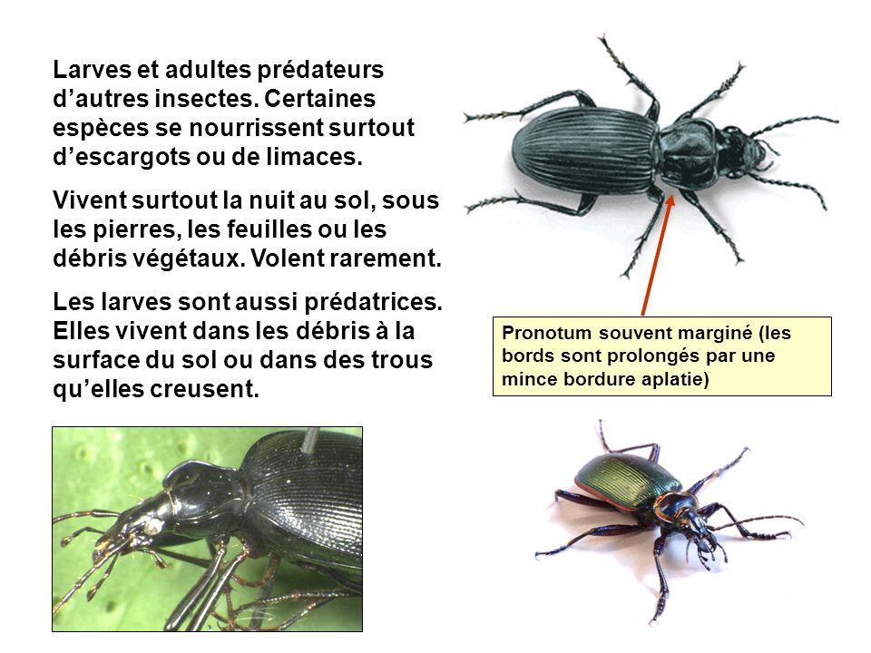 Larves et adultes prédateurs d'autres insectes