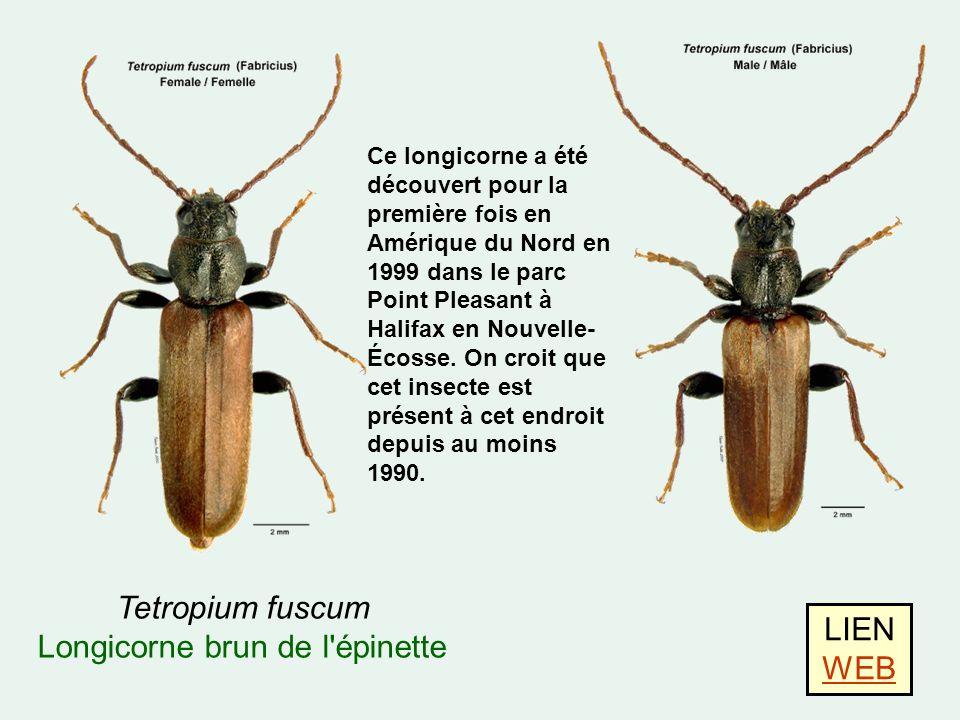 Tetropium fuscum Longicorne brun de l épinette