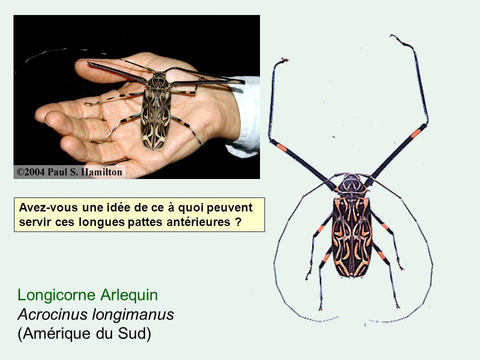 Longicorne Arlequin Acrocinus longimanus (Amérique du Sud)