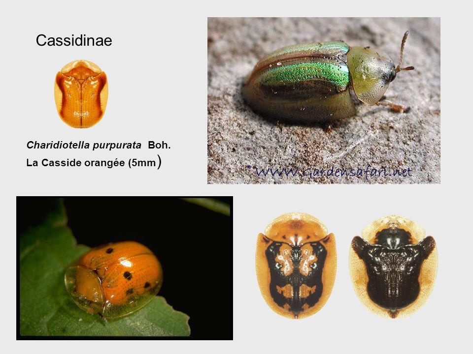 Cassidinae Charidiotella purpurata Boh. La Casside orangée (5mm)