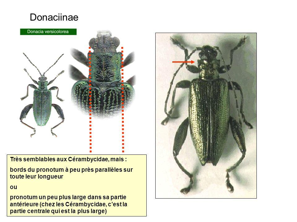Donaciinae Très semblables aux Cérambycidae, mais :