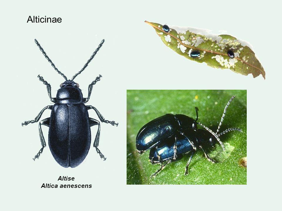 Altise Altica aenescens