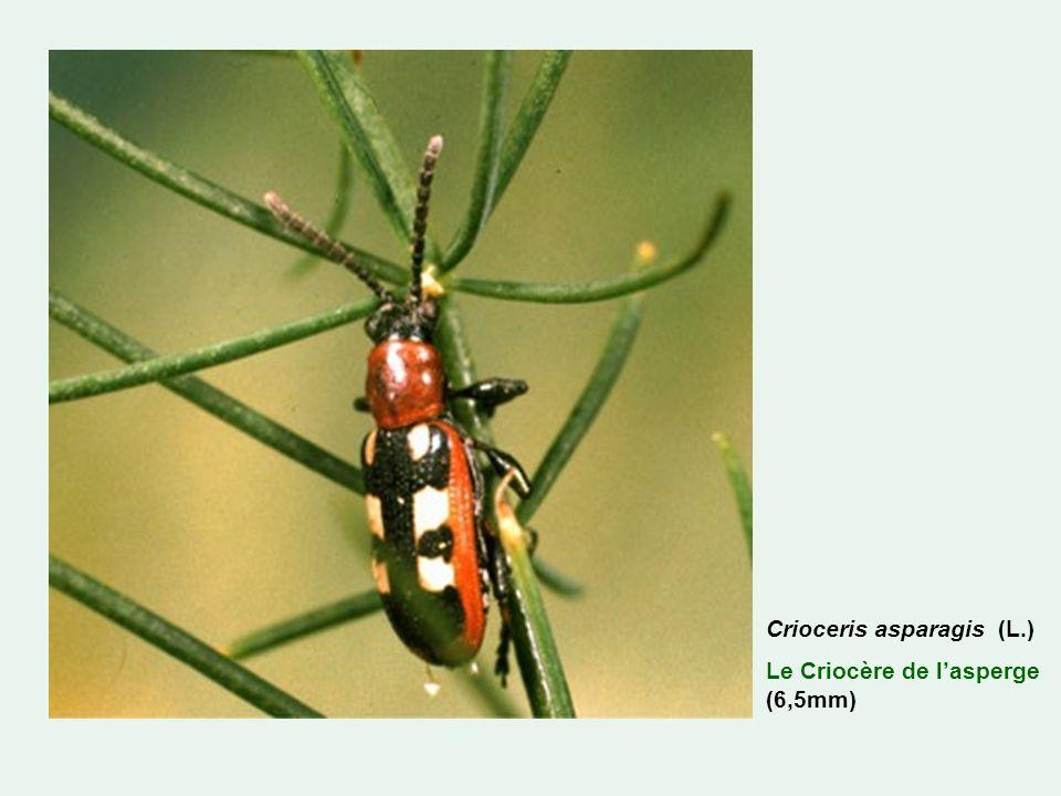 Crioceris asparagis (L.)