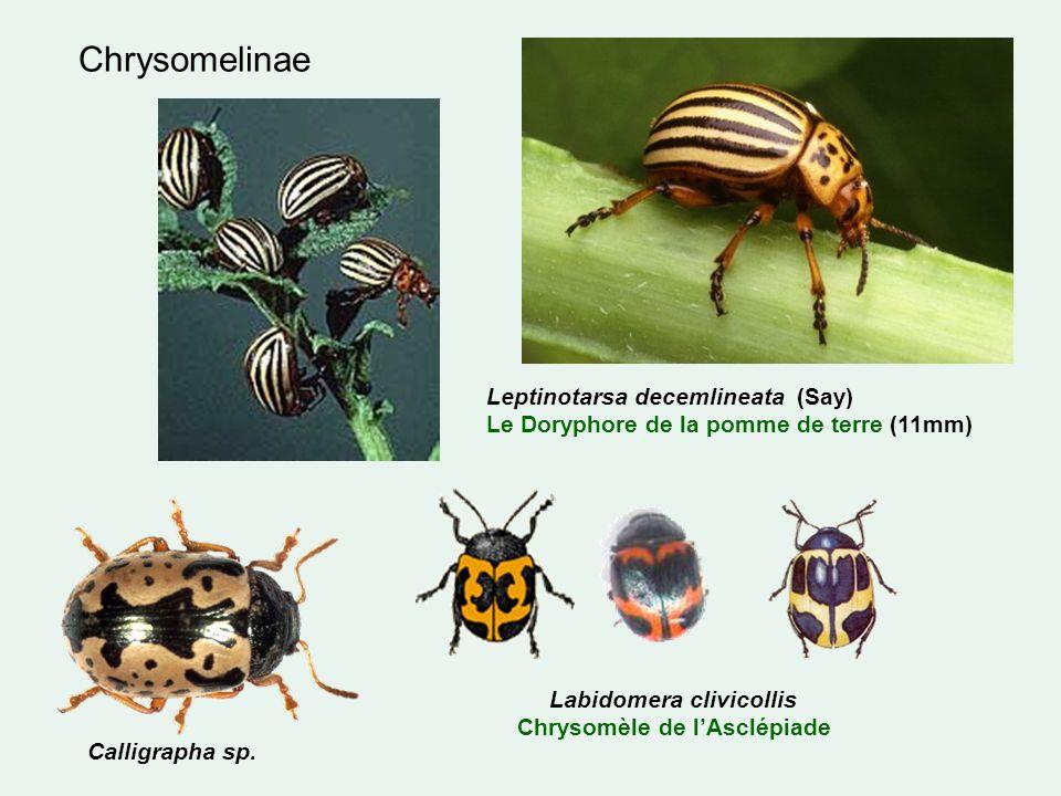 Labidomera clivicollis Chrysomèle de l'Asclépiade