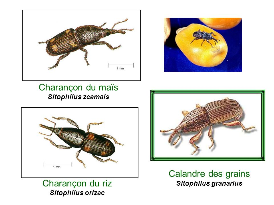 Charançon du maïs Sitophilus zeamais