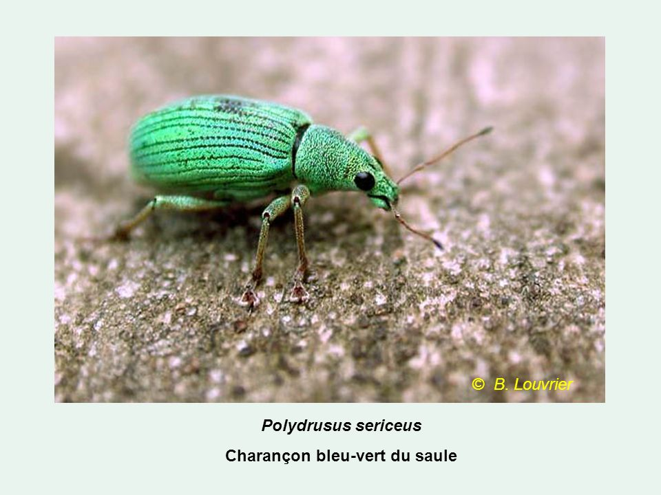 Charançon bleu-vert du saule