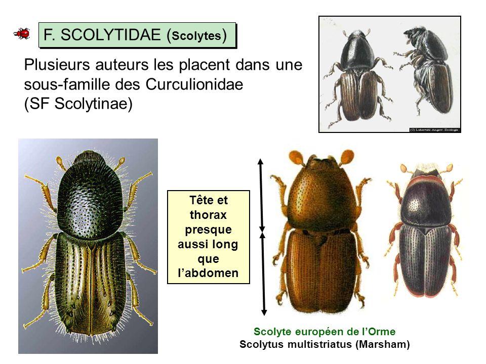 F. SCOLYTIDAE (Scolytes)