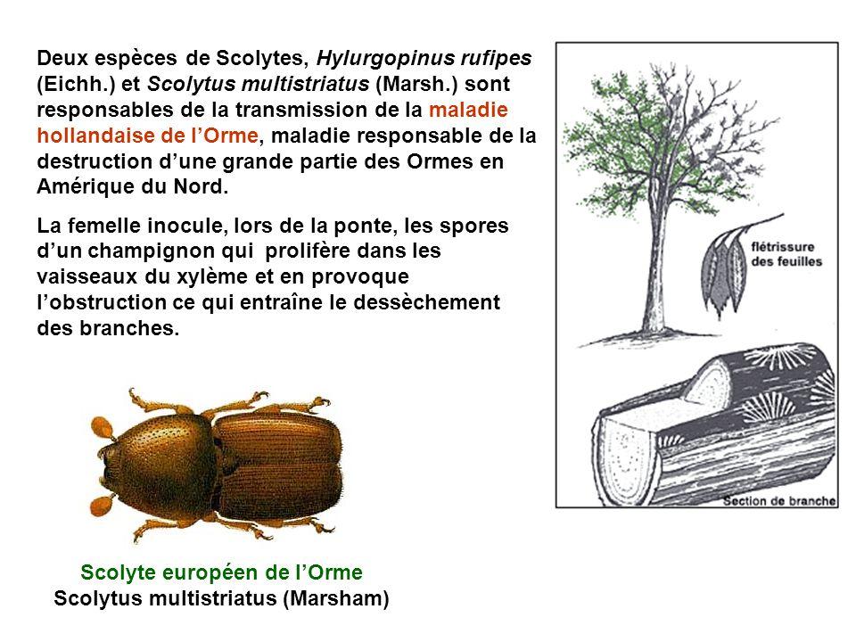 Scolyte européen de l'Orme Scolytus multistriatus (Marsham)