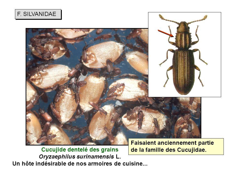 F. SILVANIDAE Faisaient anciennement partie de la famille des Cucujidae.