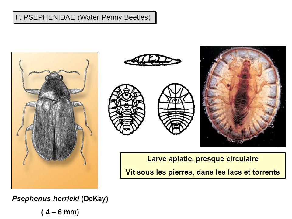 F. PSEPHENIDAE (Water-Penny Beetles)
