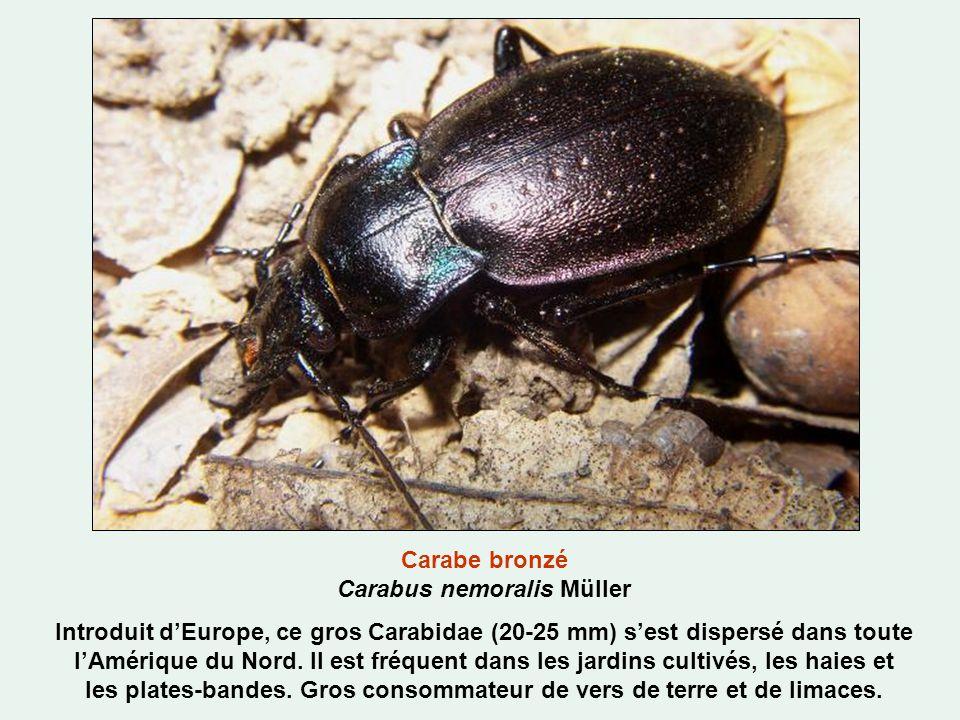 Carabe bronzé Carabus nemoralis Müller