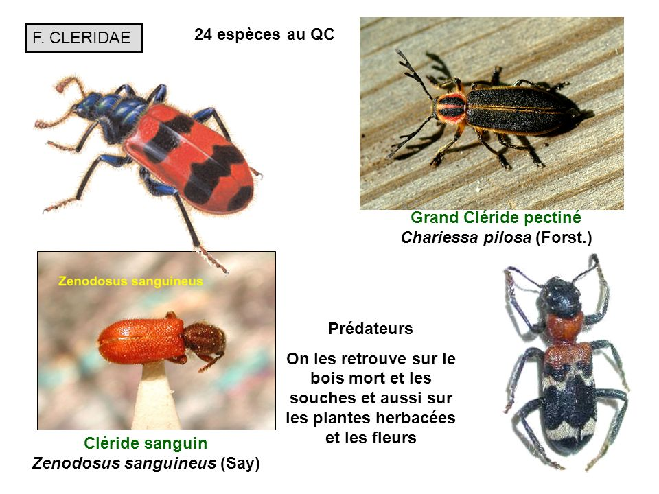 Grand Cléride pectiné Chariessa pilosa (Forst.)