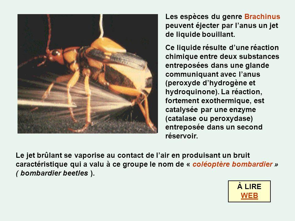 Les espèces du genre Brachinus peuvent éjecter par l'anus un jet de liquide bouillant.