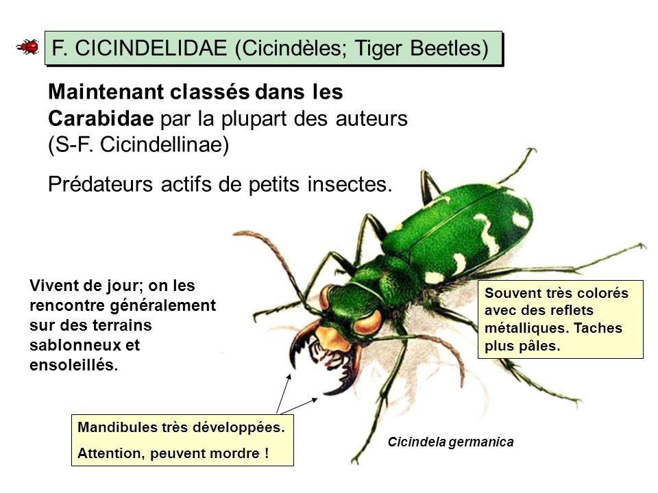 F. CICINDELIDAE (Cicindèles; Tiger Beetles)