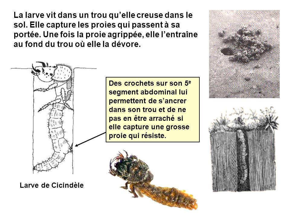 La larve vit dans un trou qu'elle creuse dans le sol