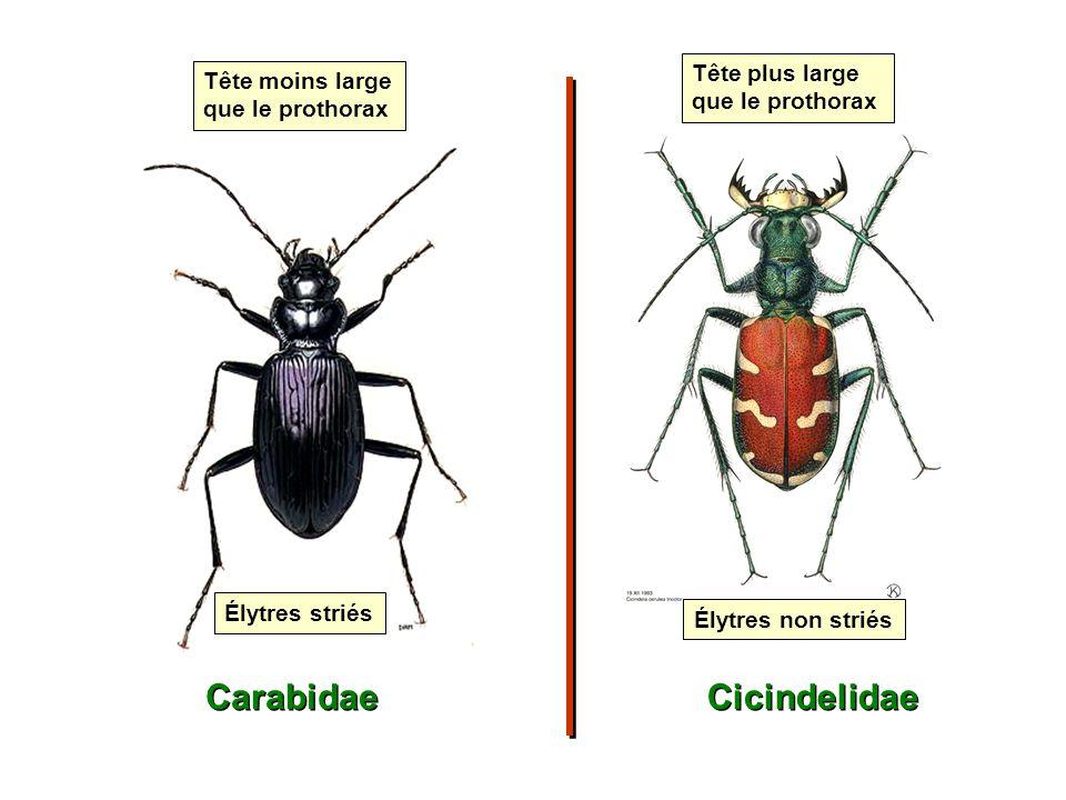 Carabidae Cicindelidae Tête plus large que le prothorax
