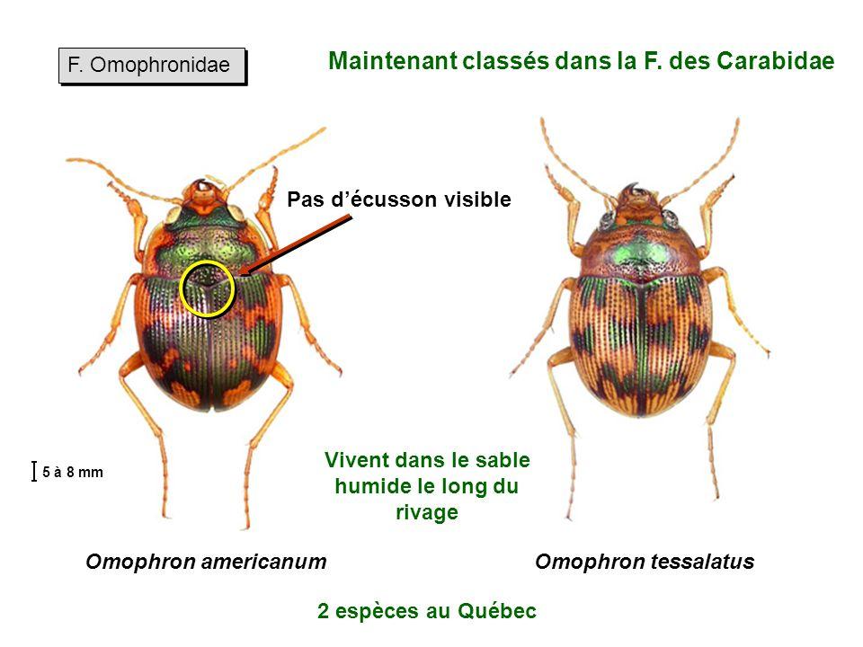 Maintenant classés dans la F. des Carabidae