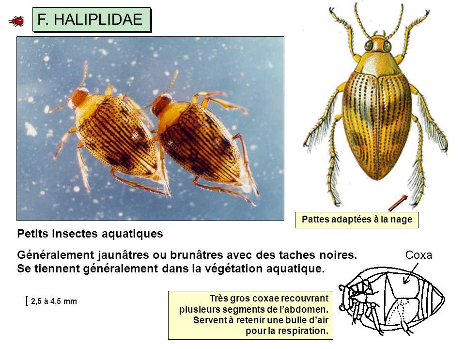 F. HALIPLIDAE Petits insectes aquatiques