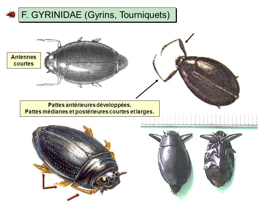 F. GYRINIDAE (Gyrins, Tourniquets)