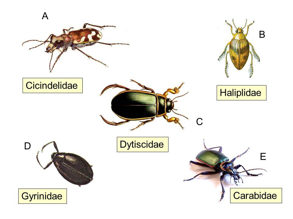 A B Cicindelidae Haliplidae C D Dytiscidae E Gyrinidae Carabidae