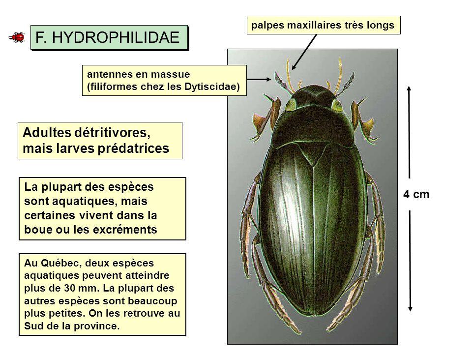 F. HYDROPHILIDAE Adultes détritivores, mais larves prédatrices