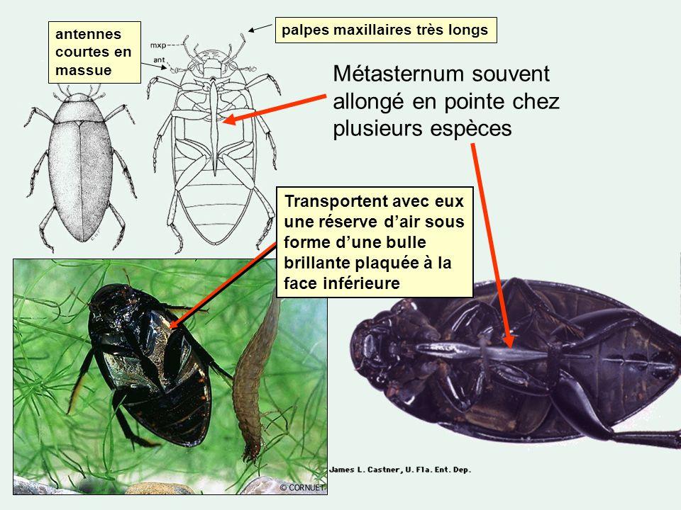 Métasternum souvent allongé en pointe chez plusieurs espèces