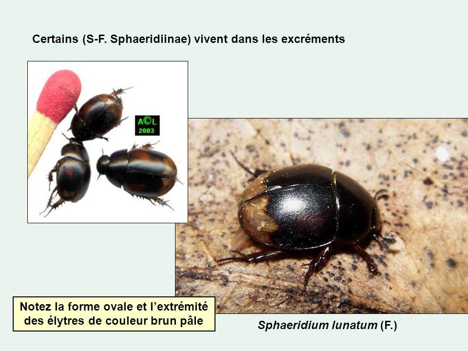Certains (S-F. Sphaeridiinae) vivent dans les excréments