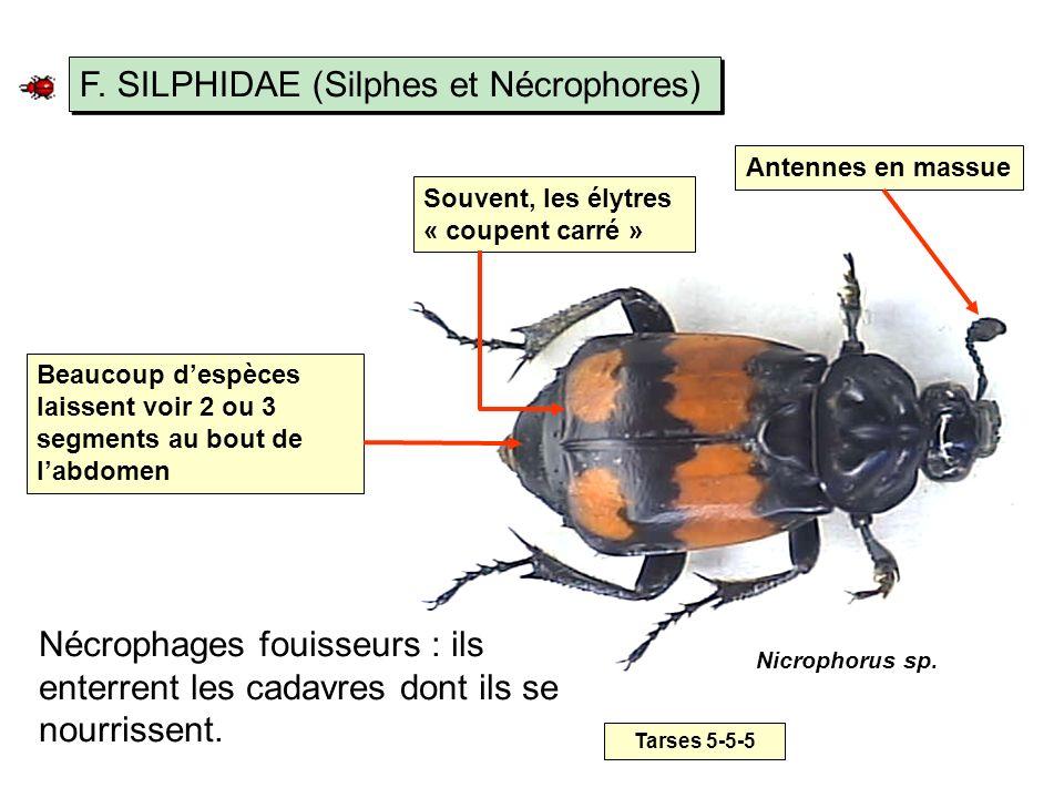 F. SILPHIDAE (Silphes et Nécrophores)