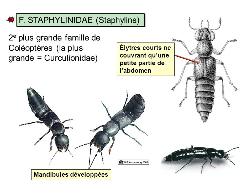 F. STAPHYLINIDAE (Staphylins)