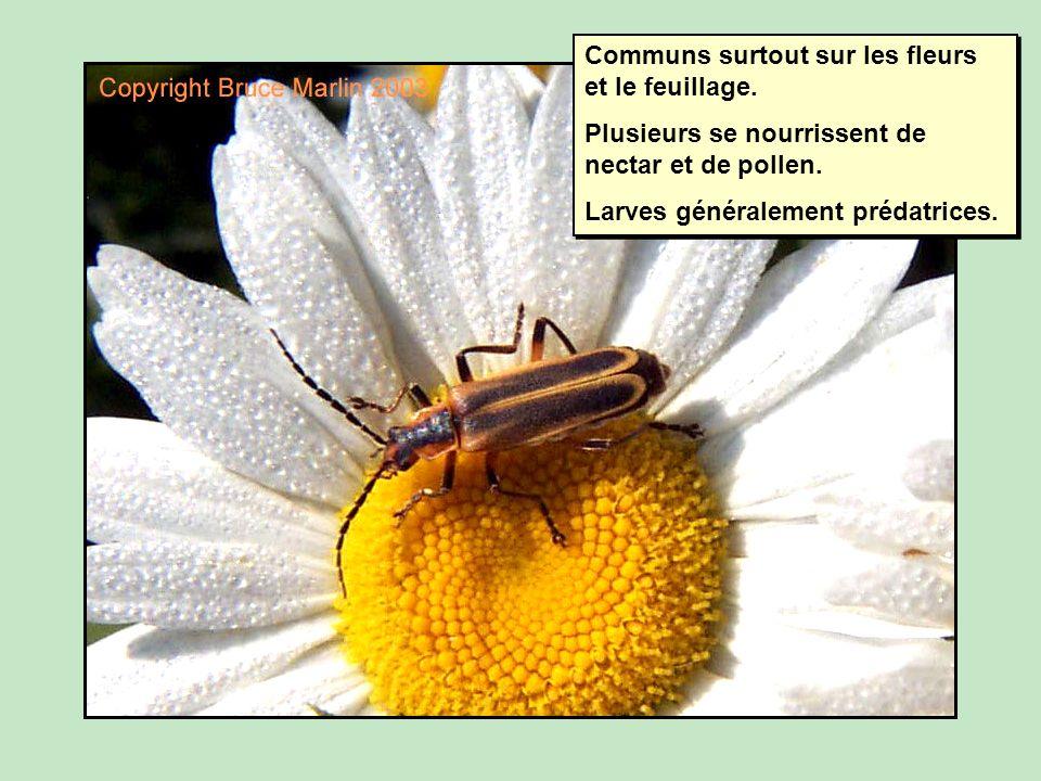 Communs surtout sur les fleurs et le feuillage.