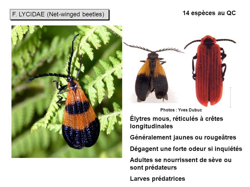 F. LYCIDAE (Net-winged beetles) 14 espèces au QC