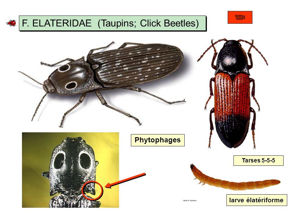 F. ELATERIDAE (Taupins; Click Beetles)