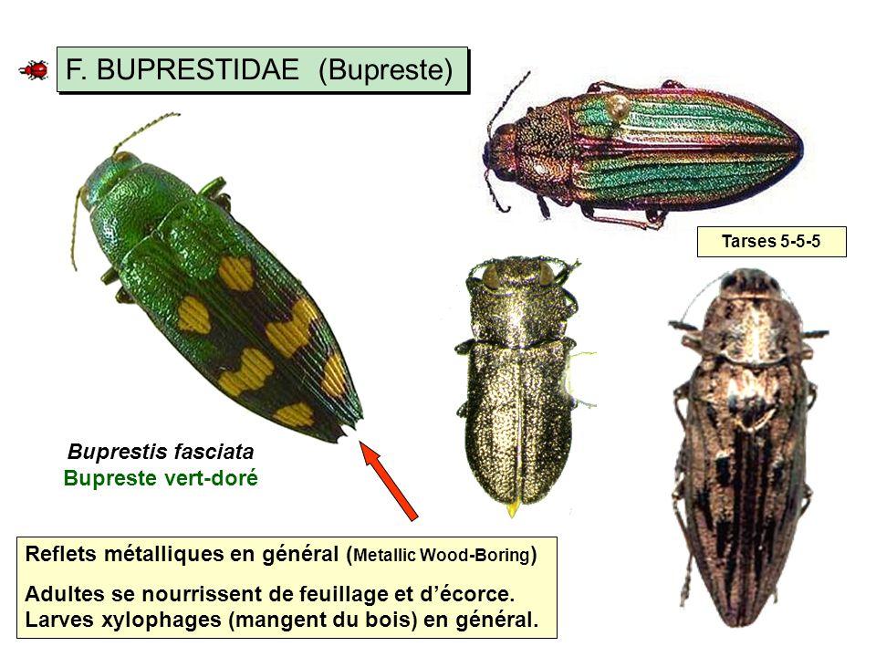 Buprestis fasciata Bupreste vert-doré