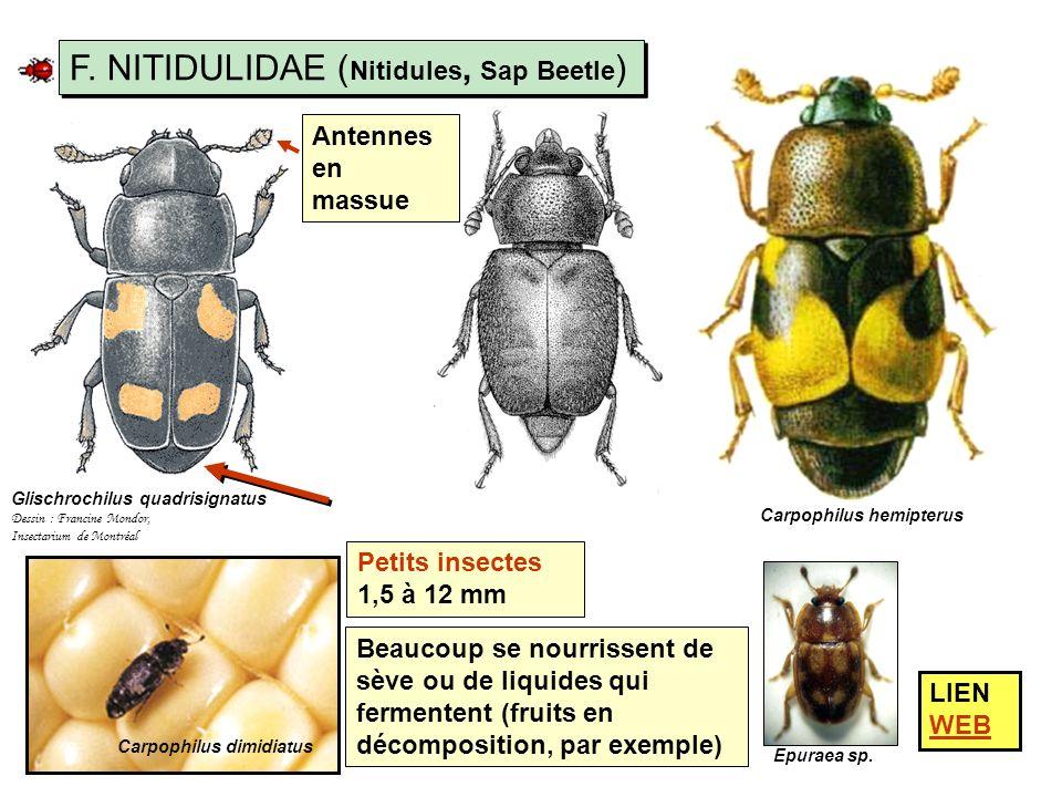 F. NITIDULIDAE (Nitidules, Sap Beetle)