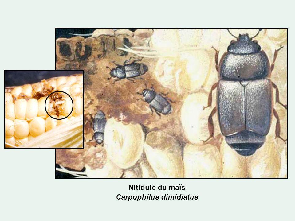 Nitidule du maïs Carpophilus dimidiatus
