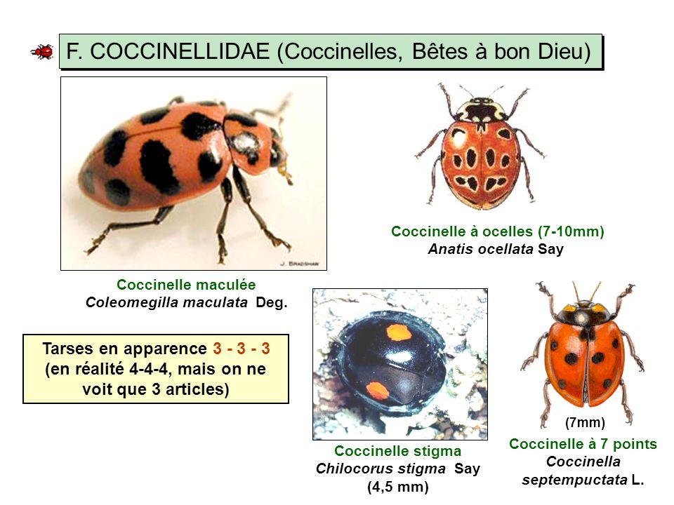 Coccinelle à 7 points Coccinella septempuctata L.