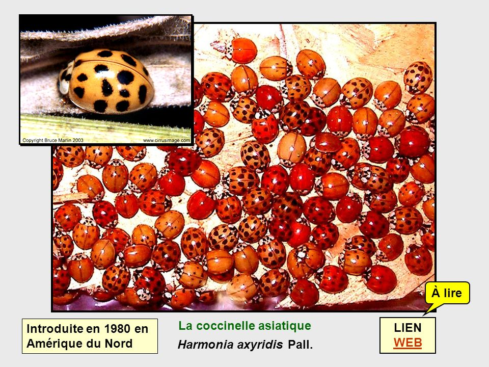 La coccinelle asiatique Harmonia axyridis Pall.