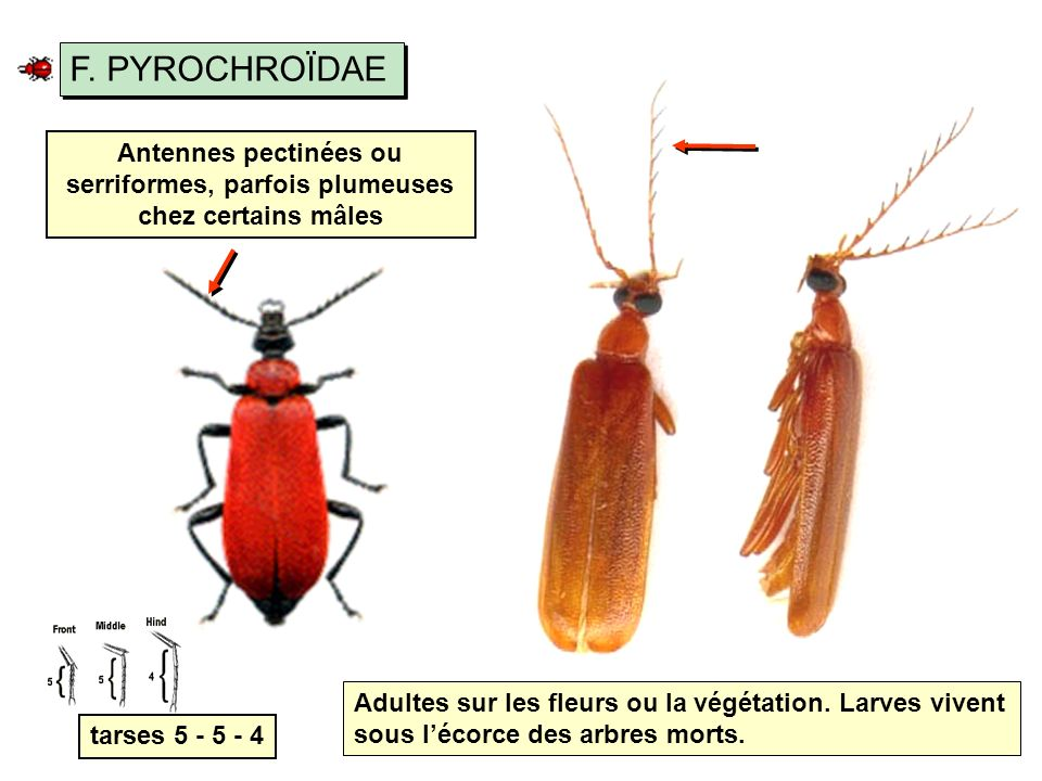 F. PYROCHROÏDAE Antennes pectinées ou serriformes, parfois plumeuses chez certains mâles.