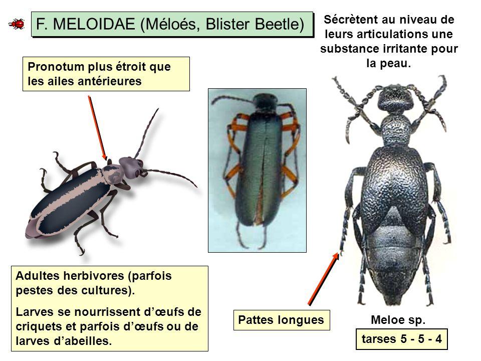 F. MELOIDAE (Méloés, Blister Beetle)