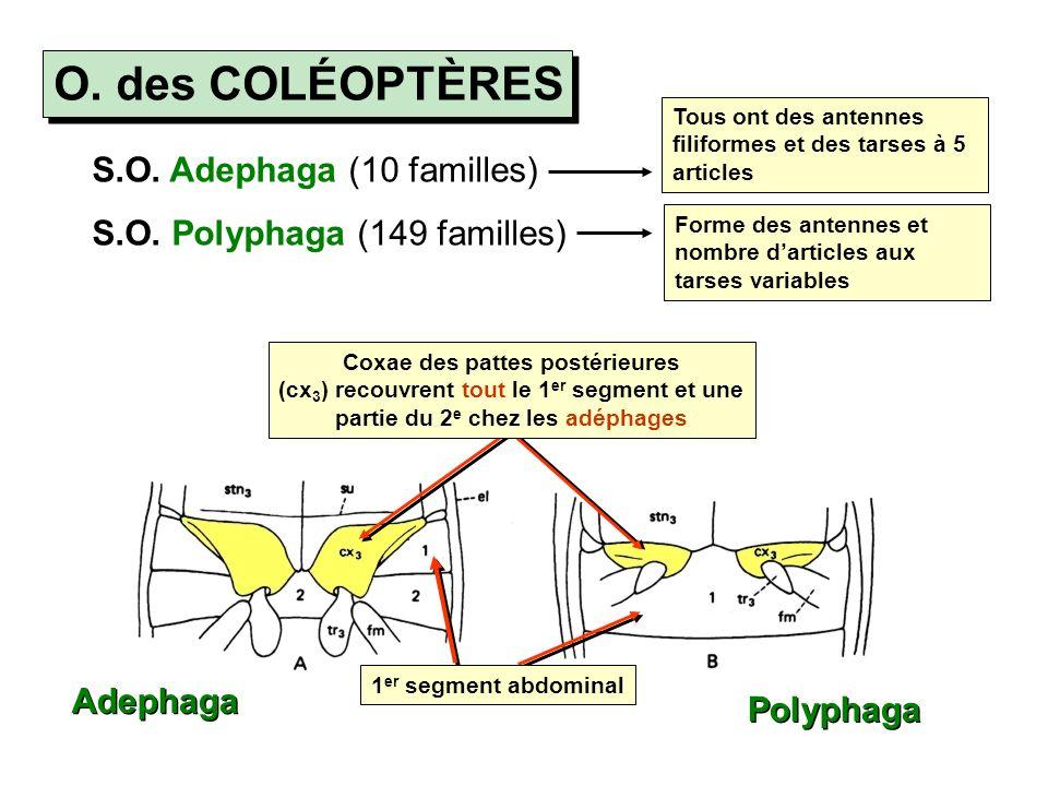 O. des COLÉOPTÈRES S.O. Adephaga (10 familles)