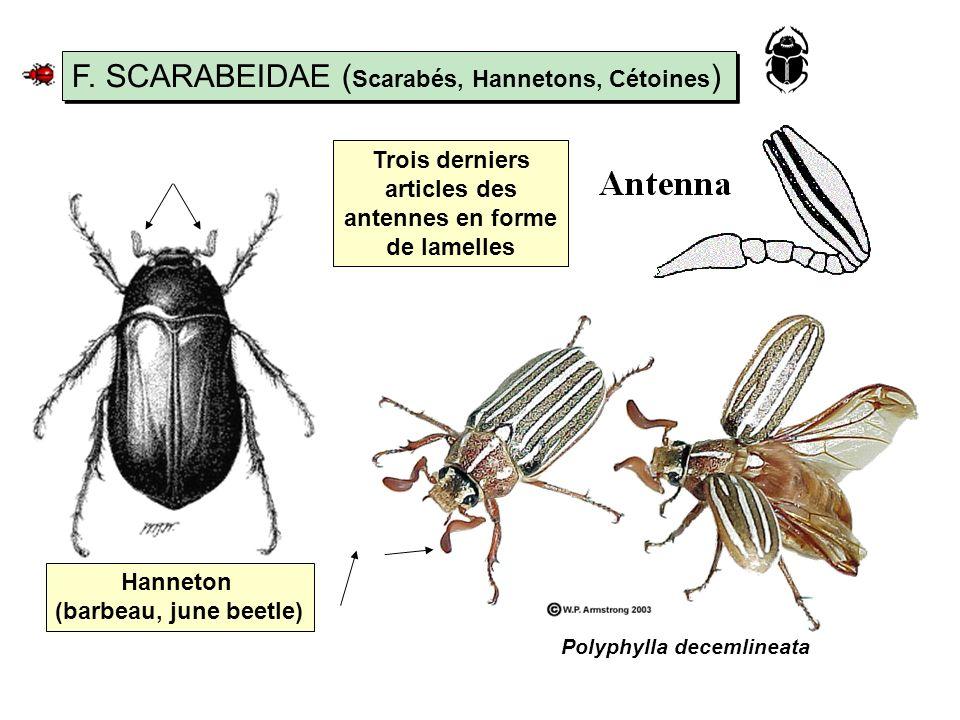 F. SCARABEIDAE (Scarabés, Hannetons, Cétoines)