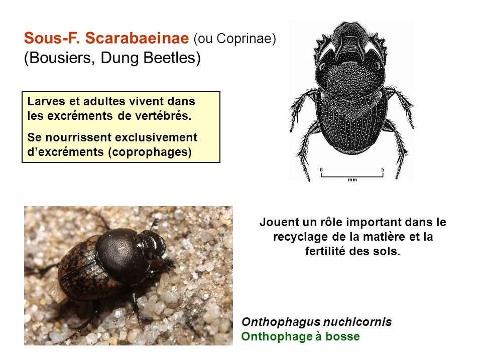 Sous-F. Scarabaeinae (ou Coprinae) (Bousiers, Dung Beetles)